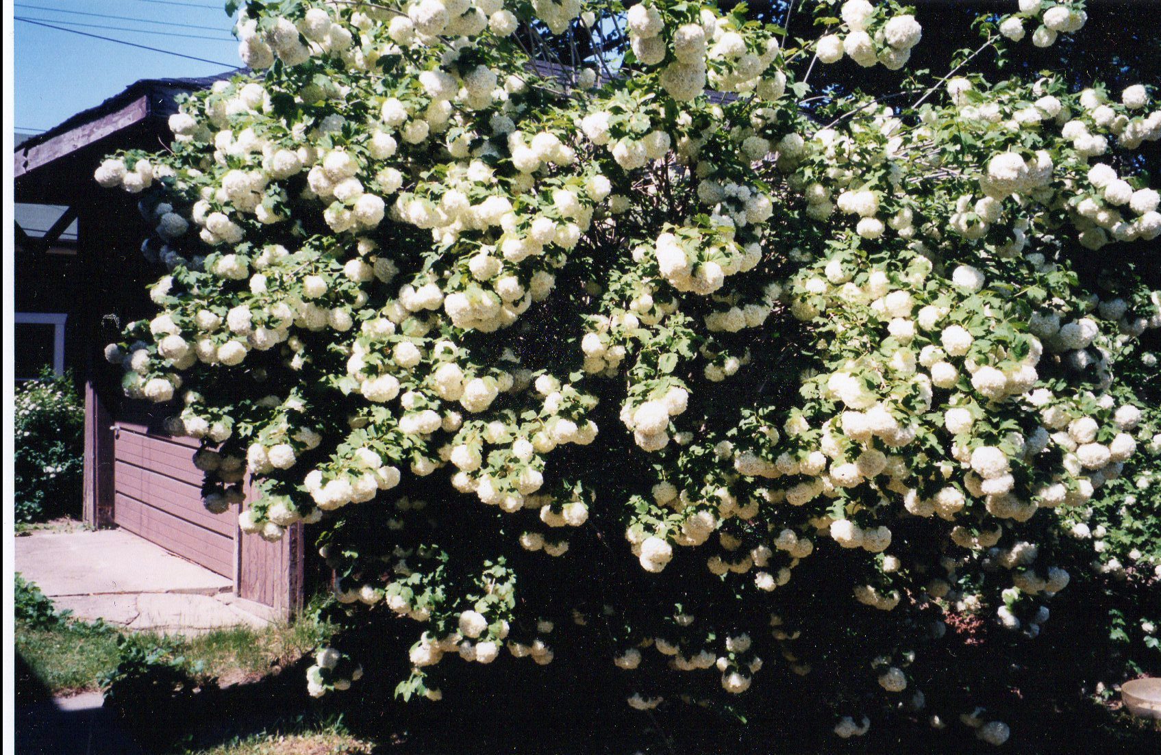 Snowball tree on side of garage